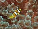 Clark'S Anemonefish, In Amenone, South East Asia