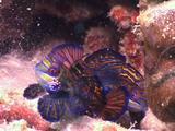 Mandarinfish pair mating, Kapalai, Sabah, Malaysia, Borneo