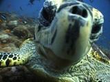 Hawksbill Turtle Looks To Camera, Sabah, Malaysia, Borneo