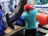 Dead Hammerhead Shark At Fish Market