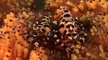 Two Coleman Shrimps In Anemone, South East Asia