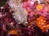 Banded Sole, Komodo. Indonesia, Underwater,