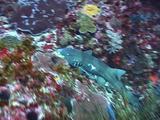 Bamboo Shark, Bali. Indonesia, Underwater,