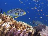 Oriental Sweetlip, Coral Reef, Bali. Indonesia, Underwater,