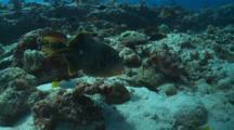 Triggerfish Yellowmargin Feeding