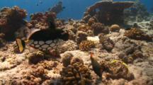 Clown Triggerfish Feeding