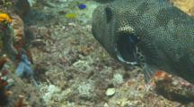 Star Pufferfish Feeding Komodo And Getting Cleaned