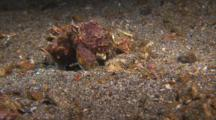 Flamboyant Cuttlefish Striking And Eating Prey