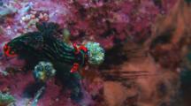 Green Nembrotha Nudibranch Feeding On Ascidian
