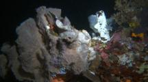 Frogfish Purple Giant Fishing With Lure