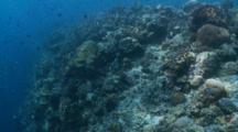 Triggerfish Titan Behavioural
