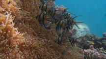Banggai Cardinal Fish Sulawesi