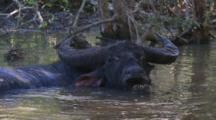 Water Buffalo In Pond