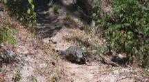 Komodo Dragon Walking, Dappled Light