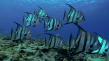 School Of Atlantic Spadefish Swim Above Reef