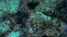 Web Burrfish All Puffed Up Against Nassau Grouper 04