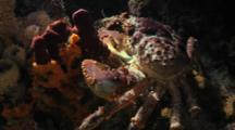 Spider Crab On Coral Reef