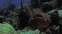 Nassau Grouper At Cleaning Station