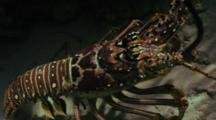 Spiny Lobster Scuttles Across Sand