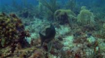 Nassau Grouper In The Dry Tortugas National Park
