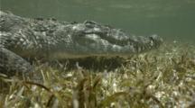 Salt Water Crocodile On Sea Grass