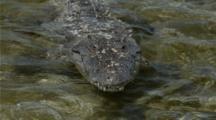 Salt Water Crocodile Submerging