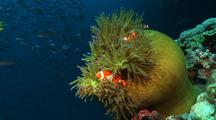 Clown Anemonefishes On Green Anemone