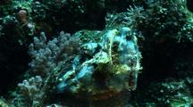 False Stonefish Waiting To Feed, Coral Reef