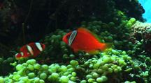 Anemonefish On Caulerpa Racemosa Fighting With Another Anemonefish