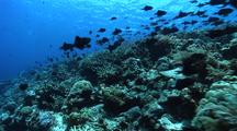 Track Over Coral Reef With School Of Triggerfish