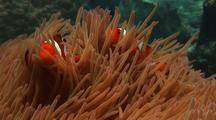 Clown Anemonefish In Anemone