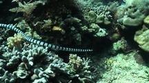 Banded Sea Snake (Laticauda Laticauda) Hunting