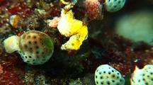 Pygmy Sea Horse Pontohi