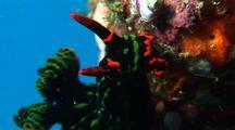 Nudibranch Feeding