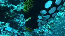 Clown Trigger Fish Feeds On Coral Reef
