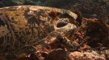 Sea Turtle With Injured Shell By Shark Attack Close Up