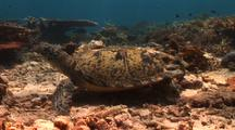 Sea Turtle With Injured Shell By Shark Attack