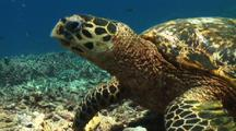 Hawksbill Sea Turtle Feeds On Dead Coral