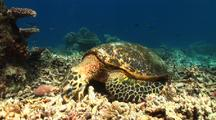 Hawksbill Sea Turtle Feeds On Dead Coral
