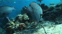 Bumphead Parrotfishes  Feeding On Coral Reef