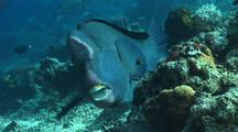 Bumphead Parrotfish Feeding On Coral Reef