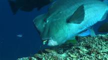 Bumphead Parrotfish Feeding On Coral Reef