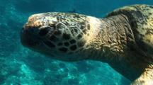 Green Sea Turtle Swims In Shallow Water