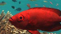 Bigeye On Coral Reef