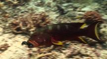 Coral Grouper Eats A Fish