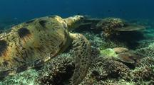 Green Sea Turtle Swims On Coral Reef