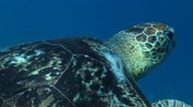 Green Sea Turtle Swims