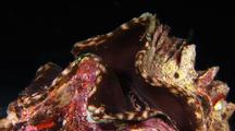 Giant Clam Opens Shell
