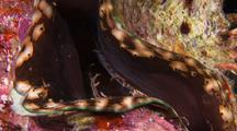 Giant Clam Opens Shells