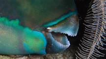 Parrotfish  In Protective Web 'sleeping Bag' Close Up Mouth